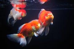 Guldfisk. Arkivbild