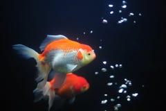 Guldfisk. Royaltyfri Foto