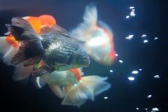 Guldfisk. Arkivbilder