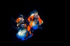 Guldfisk Fotografering för Bildbyråer