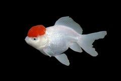 guldfisk Royaltyfri Foto