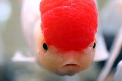 guldfisk arkivfoton