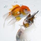 Guldfisk 17 Royaltyfria Bilder