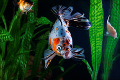 Guldfisk akvarium, en grupp av fisken på bakgrunden av vatten- växter Royaltyfri Bild