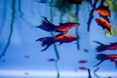 Guldfisk av närbilden för röd färg i ett akvarium med reflexion undervattens- bakgrund Fotografering för Bildbyråer