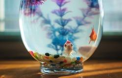 Guldfisk i akvariet Arkivfoton