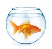 Guldfisk i akvariet som isoleras på vit Royaltyfria Foton