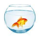 Guldfisk i akvariet som isoleras på vit Arkivbilder