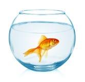 Guldfisk i akvariet som isoleras på vit Royaltyfri Bild