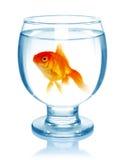 Guldfisk i akvariet som isoleras på vit Arkivfoto