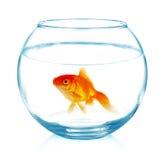 Guldfisk i akvarium på vit Arkivfoto