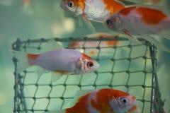 Guldfisk i akvariumfältsport Arkivfoto