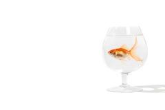 Guldfisk i Brandy Glass Arkivfoton