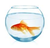 Guldfisk i det isolerade akvariet Royaltyfria Bilder