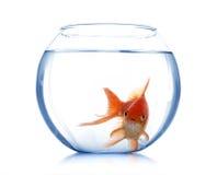 Guldfisk i det isolerade akvariet Arkivbilder