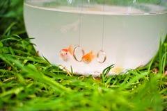 Guldfisk i en fishbowl arkivfoton