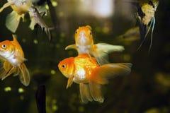 Guldfisk i ett akvarium Royaltyfri Foto