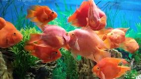 Guldfisk i ett akvarium Royaltyfria Bilder