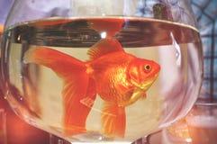 Guldfisk i ett runt exponeringsglas av rent rent vatten på en tabellnärbildbakgrund Begreppet av rent dricksvatten och ekologi av arkivfoto