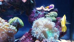 Guldfisk i sötvattens- akvarium arkivfilmer