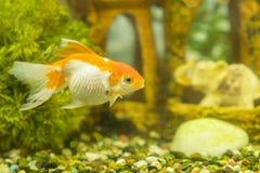 Guldfisk i s?tvattens- akvarium med gr?nt h?rligt planterat tropiskt fiska i s?tvattens- akvarium med gr?nt planterat h?rligt arkivfoton