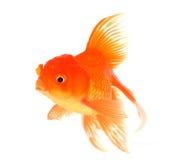 Guldfisk med vit på bakgrund arkivbild