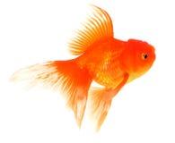 Guldfisk med vit på bakgrund royaltyfria foton