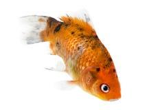 Guldfisk på vit Fotografering för Bildbyråer