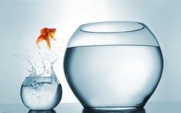 Guldfisk som hoppar i en större bunke - ambition- och prestationbegrepp royaltyfri foto