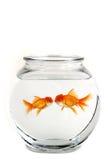 guldfisk som kysser två Royaltyfri Foto