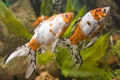 guldfisk två Arkivfoton