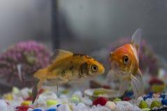Guldfisk två i fishbowl royaltyfri fotografi
