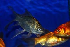 guldfisk arkivbild