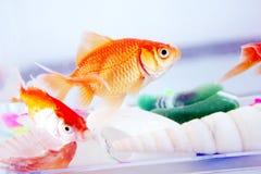 guldfiskar Arkivfoton