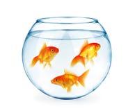 Guldfiskar i akvariet som isoleras på vit Royaltyfri Fotografi