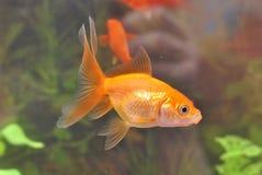 Guldfiskbad i ett akvarium Royaltyfri Bild