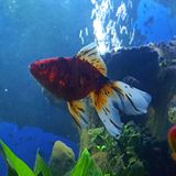 Guldfiskcallico Royaltyfri Foto