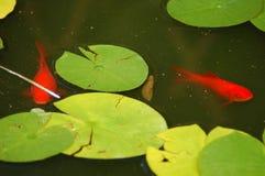 guldfiskdamm Royaltyfri Bild