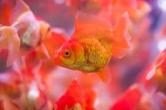 Guldfisken suger a vaggar arkivbilder