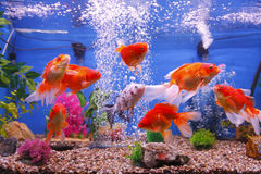 Guldfiskfiskbehållare Royaltyfri Bild