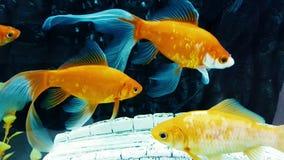 Guldfiskkometbad i akvariumvattnet lager videofilmer