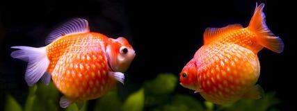 Guldfiskpearlscale arkivfoton