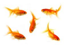 Guldfisksamling fotografering för bildbyråer