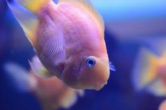 Guldfisksimning i akvarium royaltyfria foton