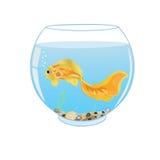 Guldfisksimning i akvarium Arkivbild