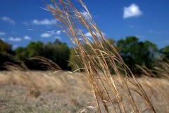 Guldgräs Arkivbilder