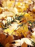 Guldgulingsidor på jordningen Royaltyfria Foton