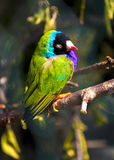 Guldova Amadina finch liten grön fågel Arkivfoto