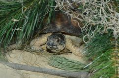 Gulf coast box turtle Royalty Free Stock Photography