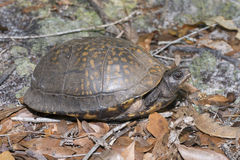 Gulf Coast box turtle. Popping its head out of shel Stock Images